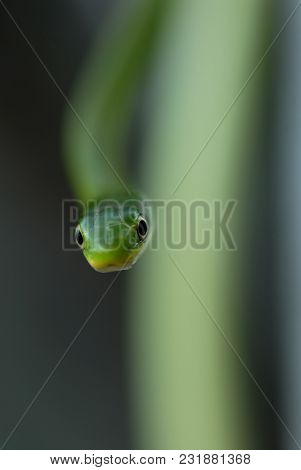 An Image Of A Rough Green Snake Using Extremely Shallow Depth Of Focus.