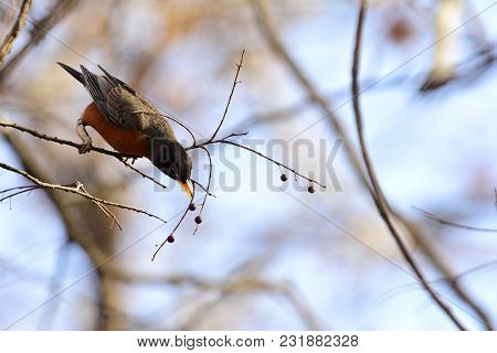 An American Robin Bird Attempting To Reach A Berry At The End Of A Twig.