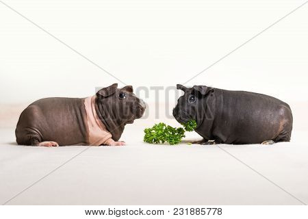 Skinny Guinea Pigs Isolated On A White Background