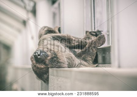 Sloth Sleeping On The Inside Wall Of A Building.