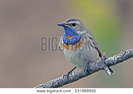 Beautiful Bluethroat With A Colorful Plumage, The Bird Is The Bluethroat The Male Sits On The Branch