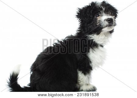 side view of a curious bichon havanese looking to side, sitting o a white background