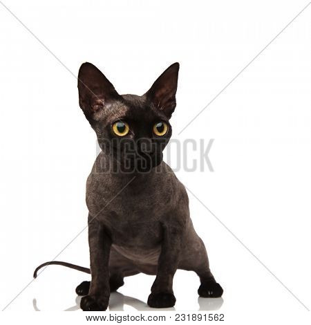 curious little grey cat looks to side scared on white background while standing up