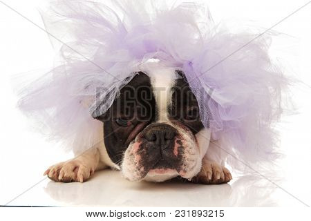 angry french bulldog with purple wedding veil on head, lying on a white background