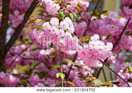 Blossom, Bloom, Flowering. Cherry Tree Blossoming On Sunny Day On Floral Background. Sakura Flowers