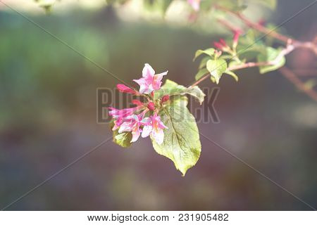 Delicate Romantic Background With Pink Flowers Vaguely.