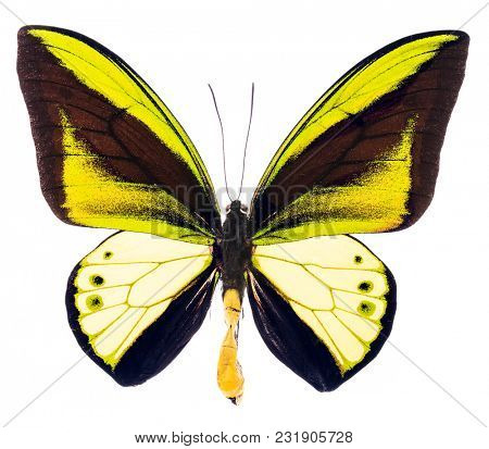 Ornithoptera goliath is a large green and yellow butterfly living in New Guinea. Male isolated on white