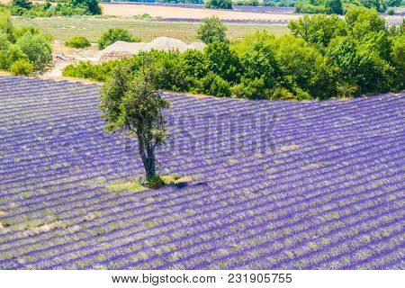 Beautiful lavender filed in Provence with a lonely tree