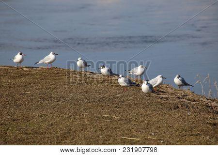 Row Of Black-headed Gulls (chroicocephalus Ridibundus) Sitting Next To The Water