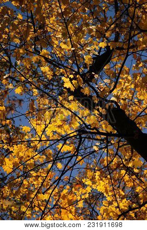 Autumn Leaves Of Maple Tree In Sunshine