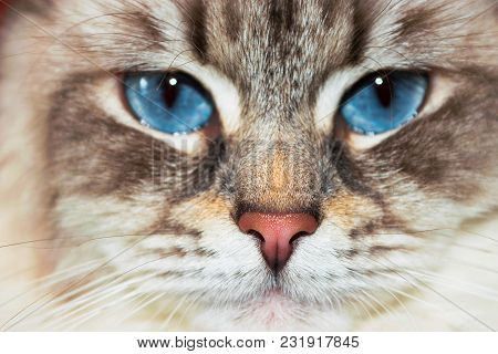 Siberian Neva Masquerade close pp cat face. Main focus on nose. Cat deep blue eyes blurry and goes in second plan poster