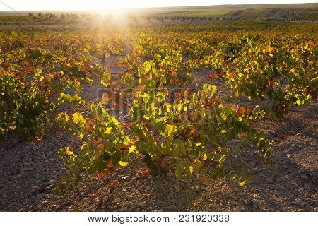 Vines Plantation Under October Sunset Light At Wine Growing Region Of Tierra De Barros,  Extremadura