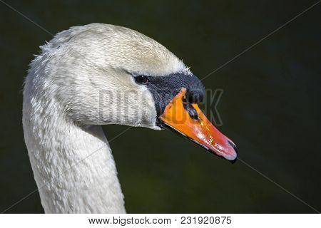 Closeup Profile Of An White Swan On The Lake.