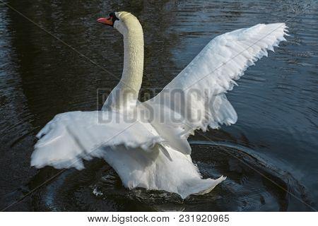 White Swan On The Lake, Start Flying.