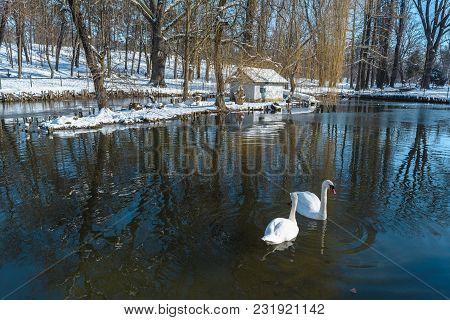 White Swans On The Lake In Nicolae Romanescu Park From Craiova, Romania.