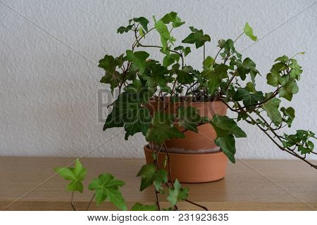 Indoor Plant In Terracotta Flower Pot On Wood Table And Green Leaves