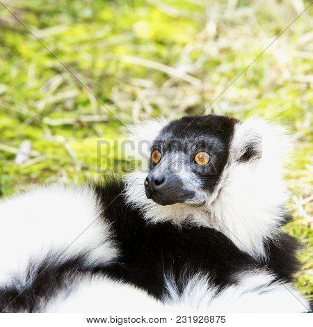 Surprised Lemur On The Lawn