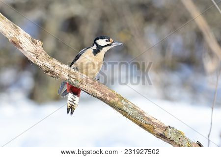 The Great Spotted Woodpecker (dendrocopos Major) Sits On A Branch In Forest, Dangling Its Tail.
