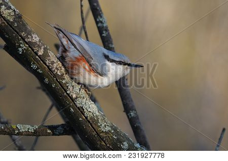 The Eurasian Nuthatch Or Wood Nuthatch (sitta Europaea) Jumps On A Branch With His Head Down And His