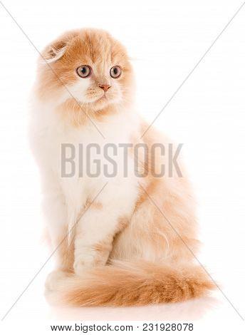 Animal, Cat, Pet Concept - Scottish Fold Cat On A White Background. Adorable Scottish Fold Cat Isola