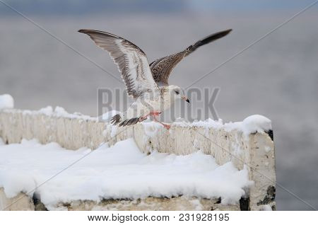 A Young European Herring Gull (larus Argentatus) Lands On The Concrete Fence Of The Embankment (stan
