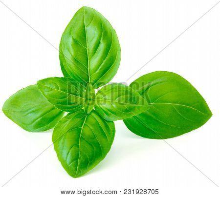 Single Fresh Basil Leaf Isolated On White Background, Macro. Sweet Basil Herb