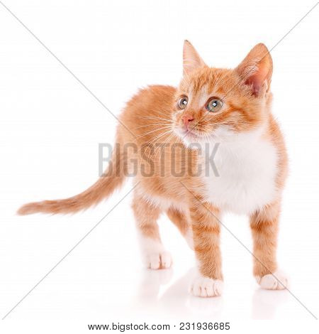 Playful Red Kitten On A White Background Isolated