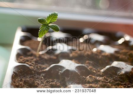A Green Sprout Of The First Spring Early Hemp Sprouted From The Ground With Two Small Leaves Of Mari
