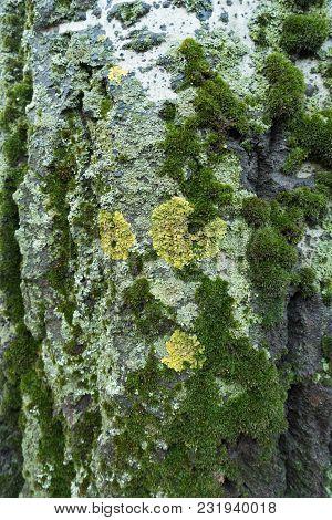Yellow Circles Of Xanthoria Parietina Lichen On Bark Of White Poplar