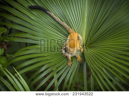 Looking Down On A Squirrel Monkey In Costa Rica Perched On A Large Palm Leaf.