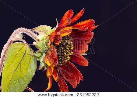 Sunflower Isolated On Indigo Background, Blooming Sunflowers On A Background Sunflower Blooming