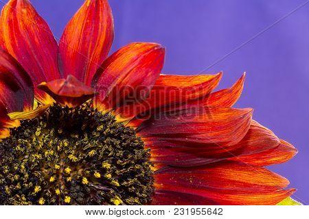 Sunflower Isolated On Purple Background, Blooming Sunflowers On A Background Sunflower Blooming