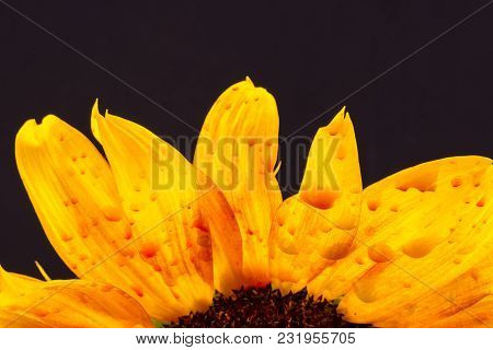 Sunflower Isolated On Brown Background, Blooming Sunflowers On A Background Sunflower Blooming