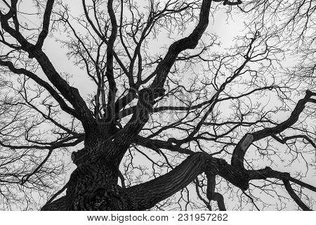 Monochrome Melancholic Image, Full Of Sad Harmony. Tall Branchy Gloomy Oak Tree In Winter Looks As S