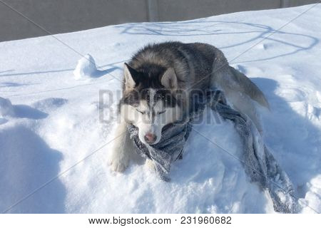 Husky Dog Sleeping In The Snow With A Rag In His Teeth Sunlight