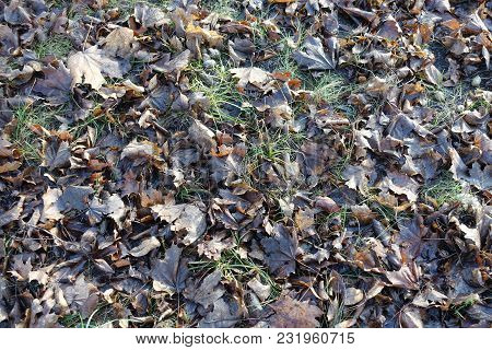 Dull Brown Fallen Leaves In The Grass In Late Autumn
