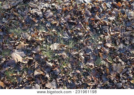 Top View Of Dull Brown Fallen Leaves In The Grass In Late Autumn
