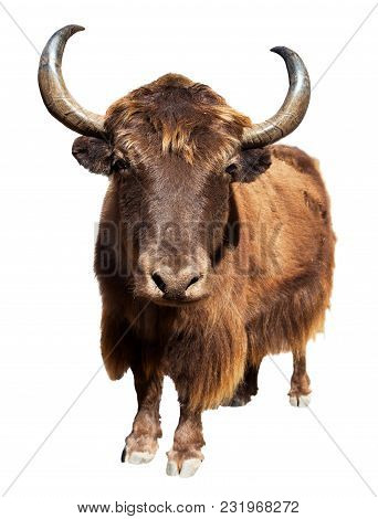Brown Yak In Latin Bos Mutus Isolated On White Background, Yak Is Farm Animal In Nepal And Tibet