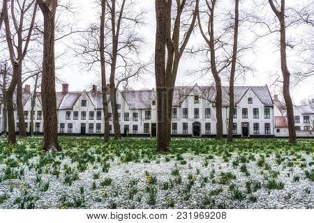 Daffodils In The Bruges Beguinage