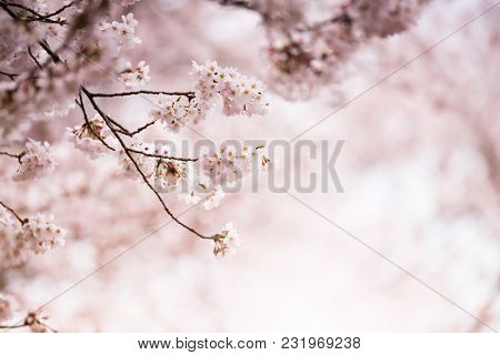 A branch of Japanese cherry blossom in early spring with  incoming light through cherry blossoms.