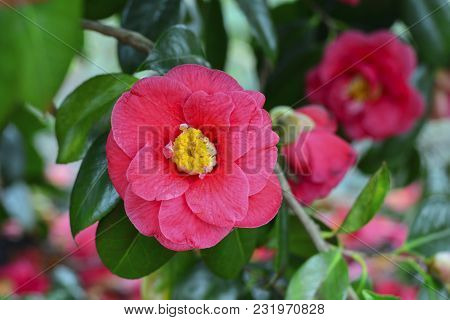 Flower Of A Pink Camellia On A Tree Spring