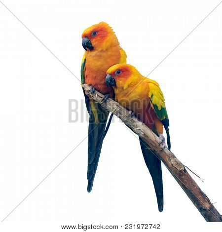 Two Sun Conure parrakeets isolated against white background. The vibrant birds come from northeastern South America.