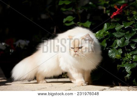 grouchy looking pure bred himalayan cat.