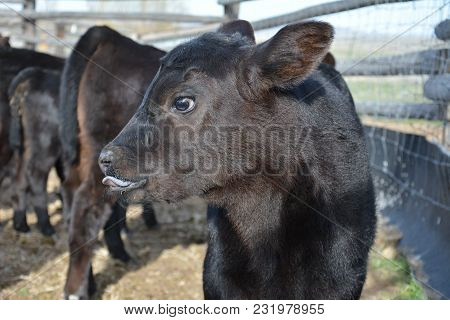 Black Angus Calf, Calf With Funny Face, Spring Calf Being Shy, Calf Posing For The Camera