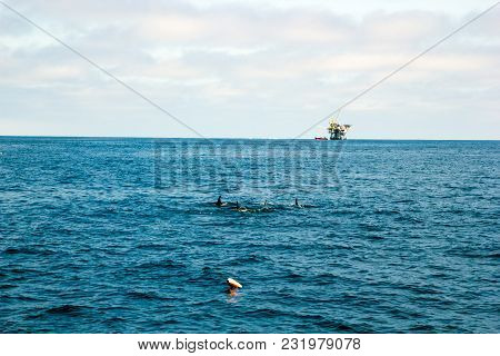 Playful Dolphins Swimming In  Ocean Waters Near Oil Rig, Southern California