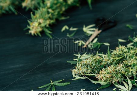 Freshly Harvested Medical Marijuana Grown At Home. Close Up Of A Cannabis Leaves After Being Trimmed