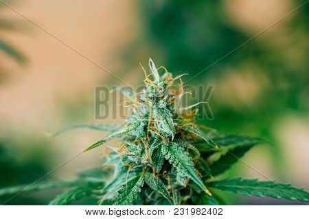 Cannabis Grown Indoor Before Harvest. Macro Shot With Sugar Trichomes Cbd Thc, Concepts Of Grow And