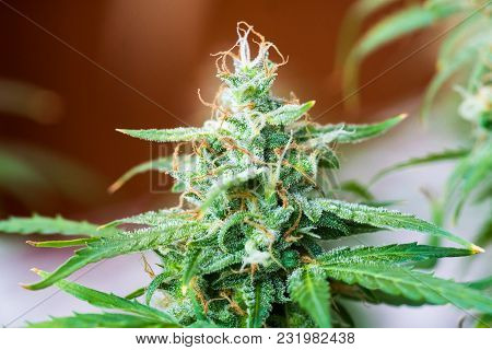 Beautiful Buds Cannabis Grown In The House Before Harvest. Concepts Of Grow And Use Of Marijuana Cbd