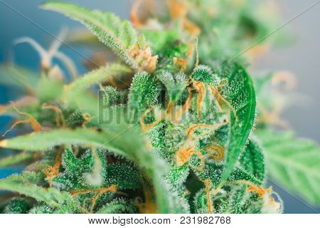 Weed Grow Buds Harvest Indoor Buds Cannabis Macro Shot With Sugar Trichomes. Concepts Of Grow And Us
