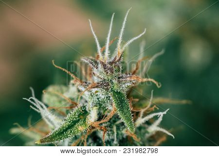 Cannabis Buds Beautiful Grown In The Indoor Before Harvest. Macro Shot With Sugar Trichomes. Concept